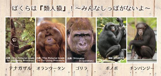 ボノボ&ゴリラ比較.jpg