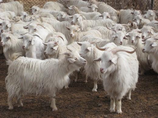 Qualities_Cashmere_Goats[1].jpg